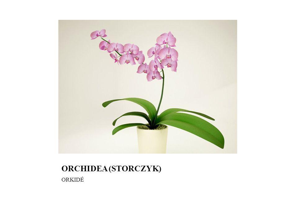 ORCHIDEA (STORCZYK) ORKIDÉ
