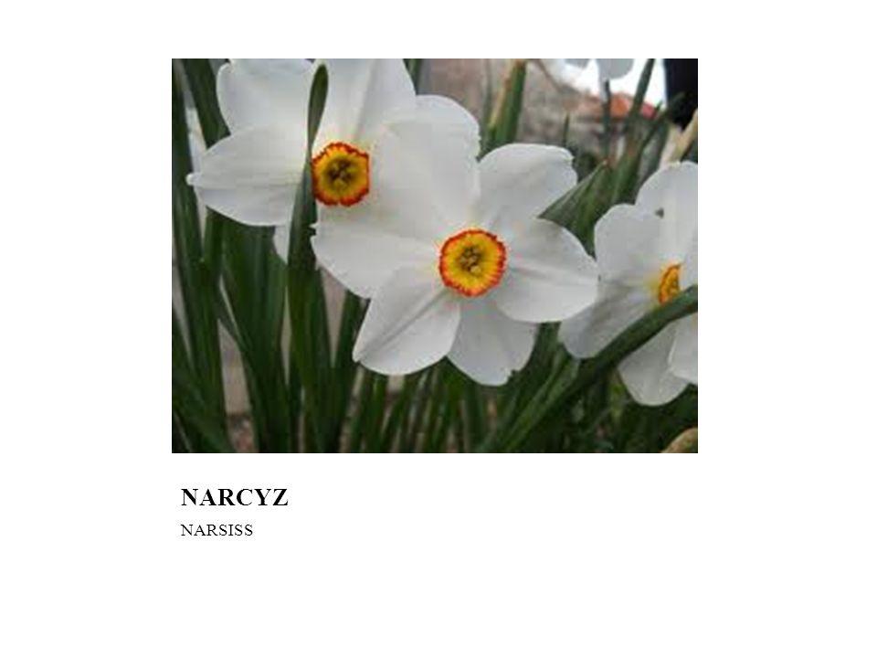 NARCYZ NARSISS