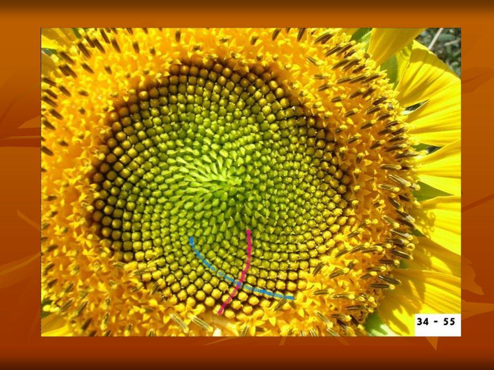 LICZBY FIBONACCIEGO W PRZYRODZIE Łuski ananasa, szyszek sosnowych, pestki w słonecznikach tworzą dwa układy linii spiralnych prawoskrętnych i lewoskrę