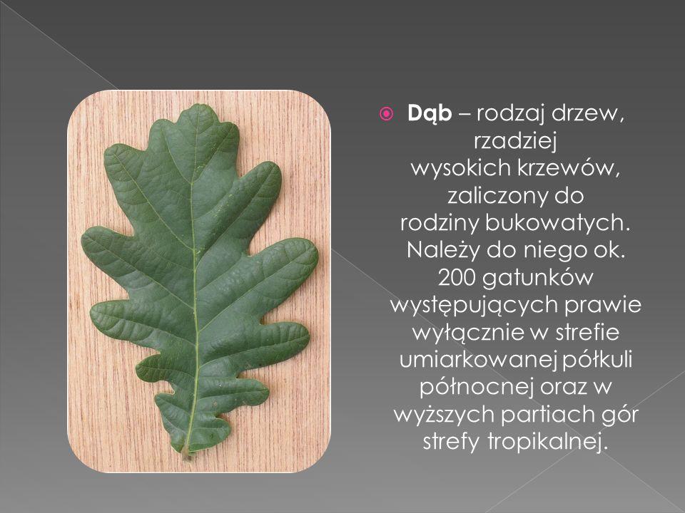  Dąb – rodzaj drzew, rzadziej wysokich krzewów, zaliczony do rodziny bukowatych. Należy do niego ok. 200 gatunków występujących prawie wyłącznie w st