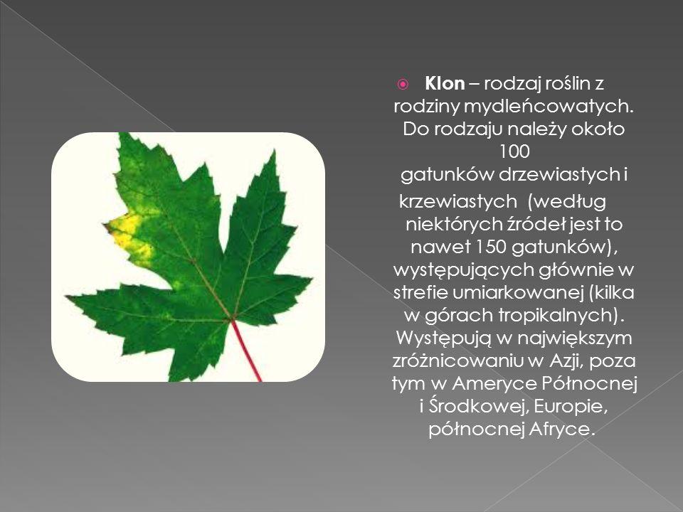  Klon – rodzaj roślin z rodziny mydleńcowatych. Do rodzaju należy około 100 gatunków drzewiastych i krzewiastych (według niektórych źródeł jest to na