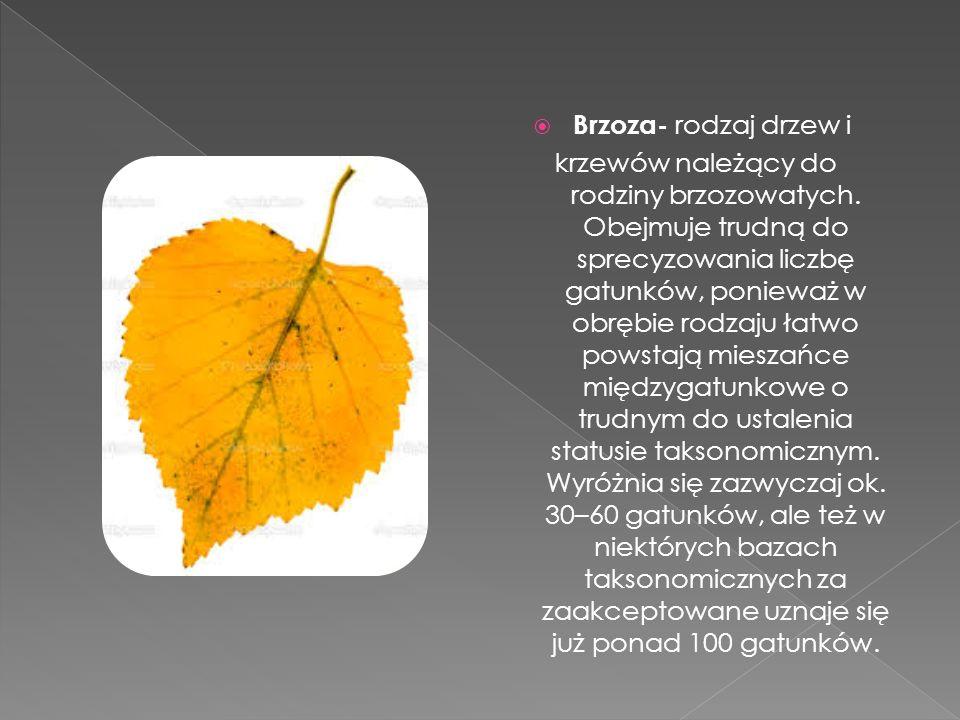  Brzoza- rodzaj drzew i krzewów należący do rodziny brzozowatych. Obejmuje trudną do sprecyzowania liczbę gatunków, ponieważ w obrębie rodzaju łatwo