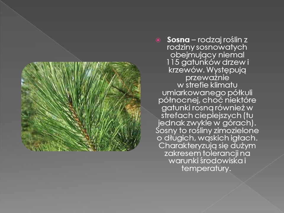  Sosna – rodzaj roślin z rodziny sosnowatych obejmujący niemal 115 gatunków drzew i krzewów. Występują przeważnie w strefie klimatu umiarkowanego pół