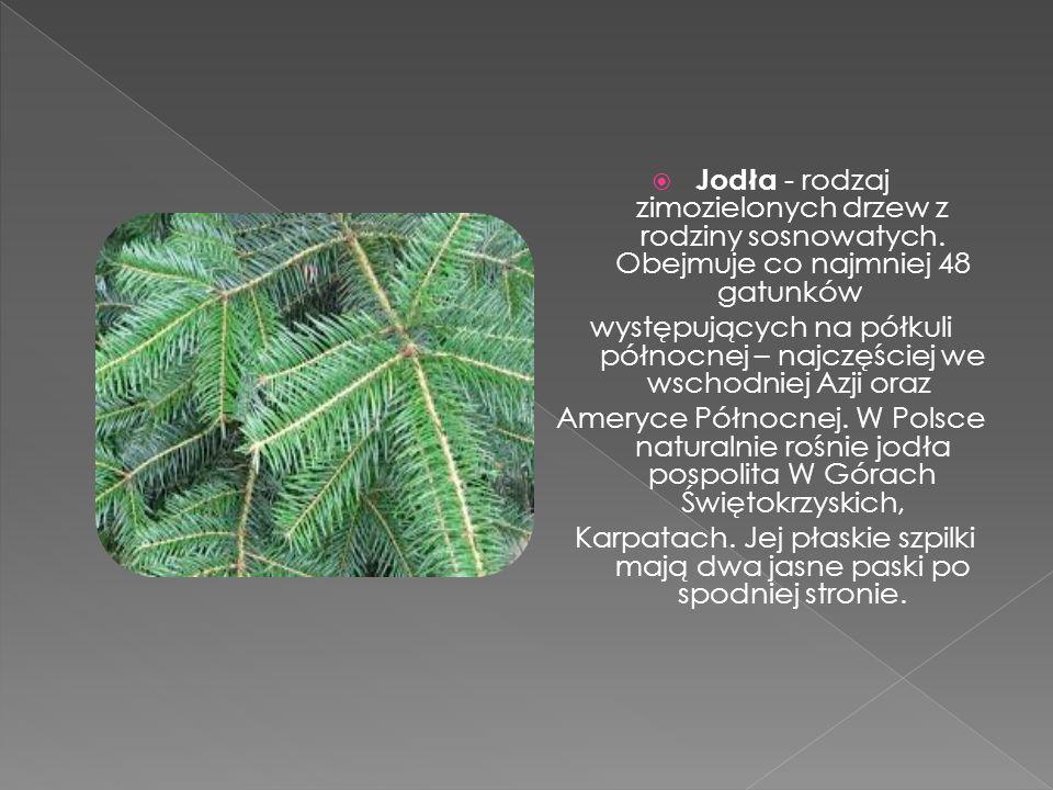  Jodła - rodzaj zimozielonych drzew z rodziny sosnowatych. Obejmuje co najmniej 48 gatunków występujących na półkuli północnej – najczęściej we wscho