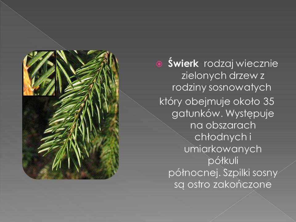  Świerk rodzaj wiecznie zielonych drzew z rodziny sosnowatych który obejmuje około 35 gatunków. Występuje na obszarach chłodnych i umiarkowanych półk