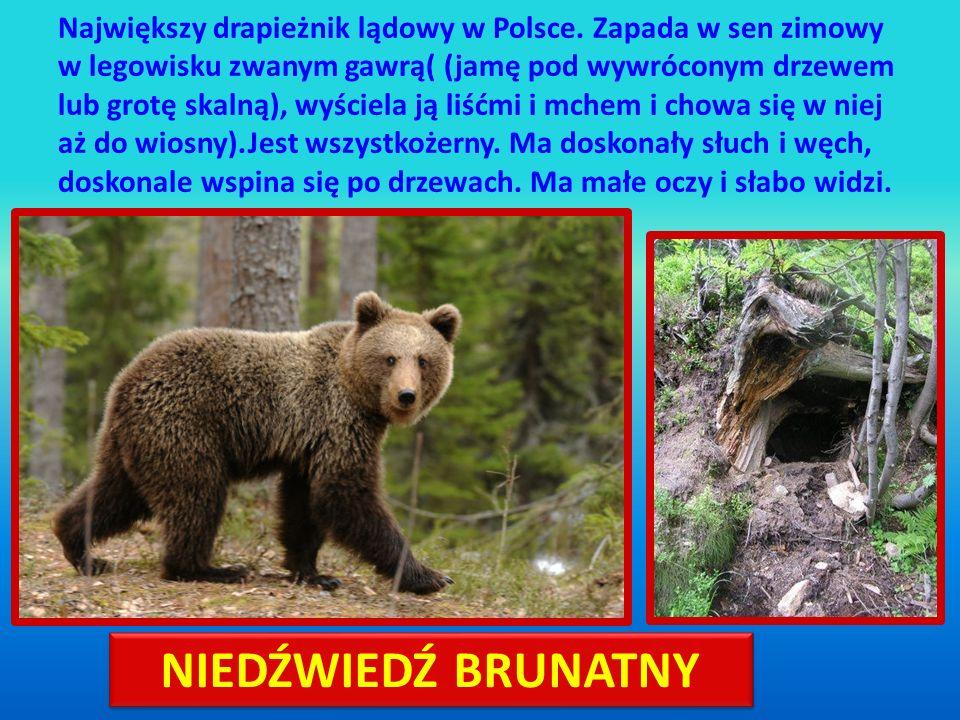 Największy drapieżnik lądowy w Polsce. Zapada w sen zimowy w legowisku zwanym gawrą( (jamę pod wywróconym drzewem lub grotę skalną), wyściela ją liśćm