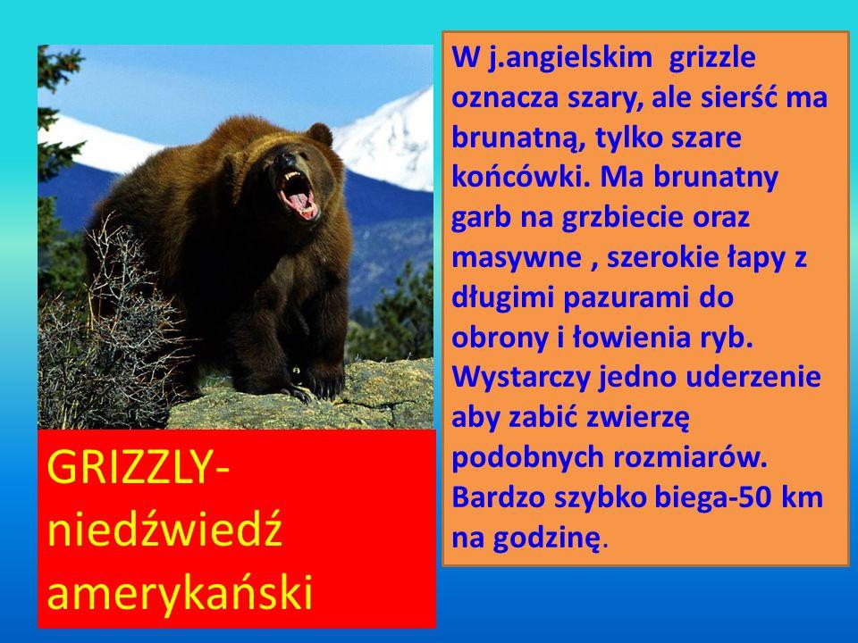 GRIZZLY- GRIZZLY- niedźwiedź amerykański W j.angielskim grizzle oznacza szary, ale sierść ma brunatną, tylko szare końcówki. Ma brunatny garb na grzbi