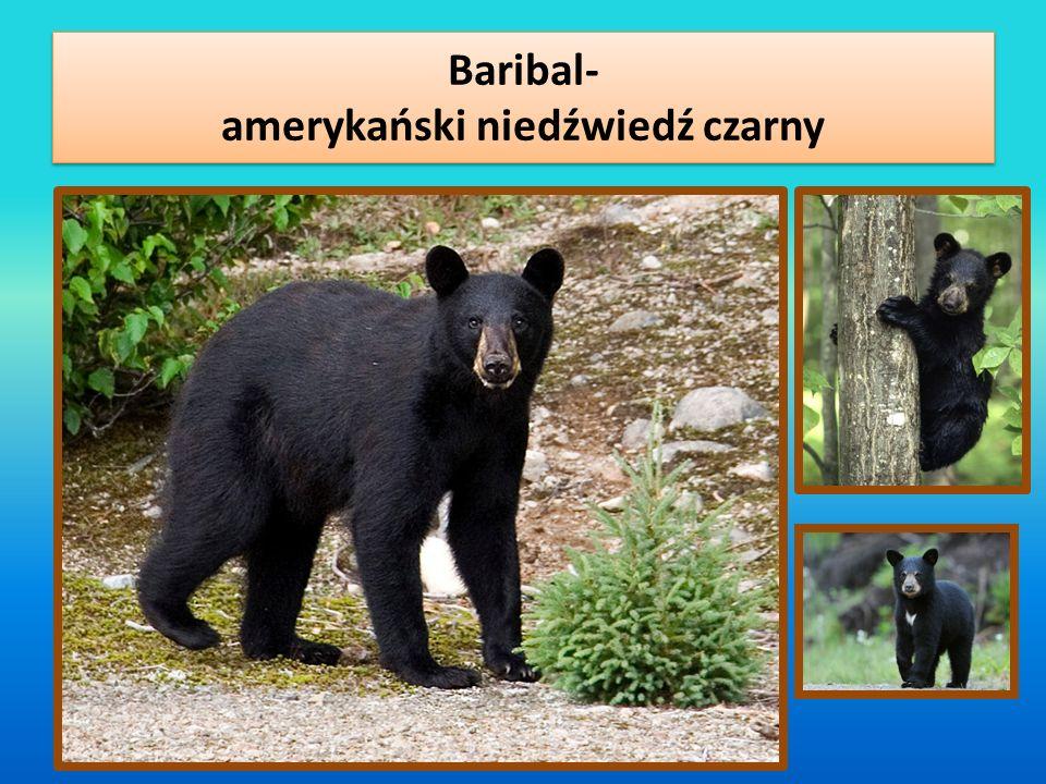 Baribal- amerykański niedźwiedź czarny