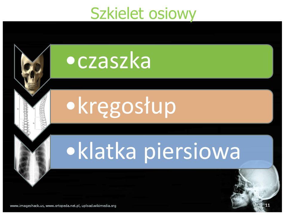 Szkielet osiowy czaszkakręgosłupklatka piersiowa 11 www.imageshack.us, www.ortopeda.net.pl, upload.wikimedia.org