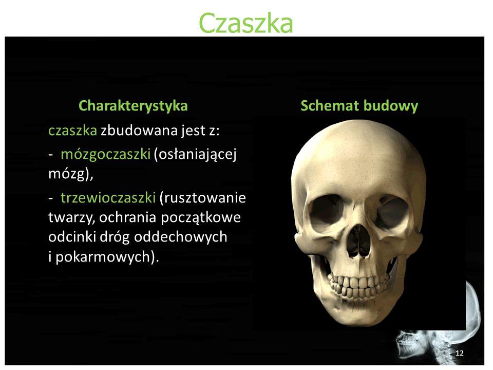 Czaszka Charakterystyka czaszka zbudowana jest z: - mózgoczaszki (osłaniającej mózg), - trzewioczaszki (rusztowanie twarzy, ochrania początkowe odcinki dróg oddechowych i pokarmowych).