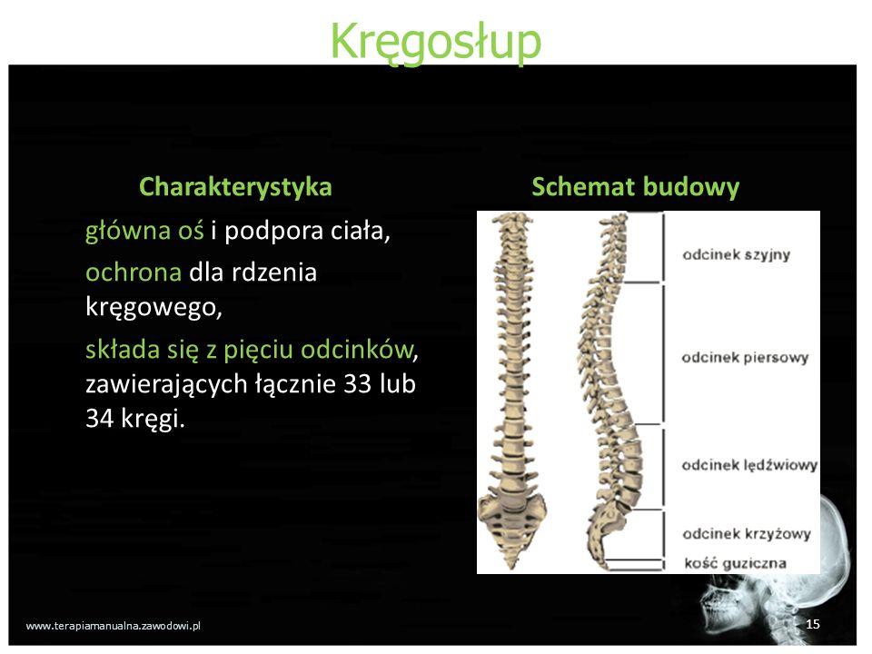 Kręgosłup Charakterystyka główna oś i podpora ciała, ochrona dla rdzenia kręgowego, składa się z pięciu odcinków, zawierających łącznie 33 lub 34 kręg