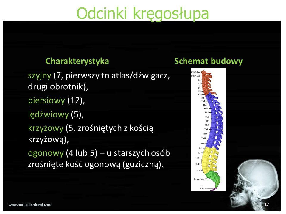 Odcinki kręgosłupa Charakterystyka szyjny (7, pierwszy to atlas/dźwigacz, drugi obrotnik), piersiowy (12), lędźwiowy (5), krzyżowy (5, zrośniętych z kością krzyżową), ogonowy (4 lub 5) – u starszych osób zrośnięte kość ogonową (guziczną).