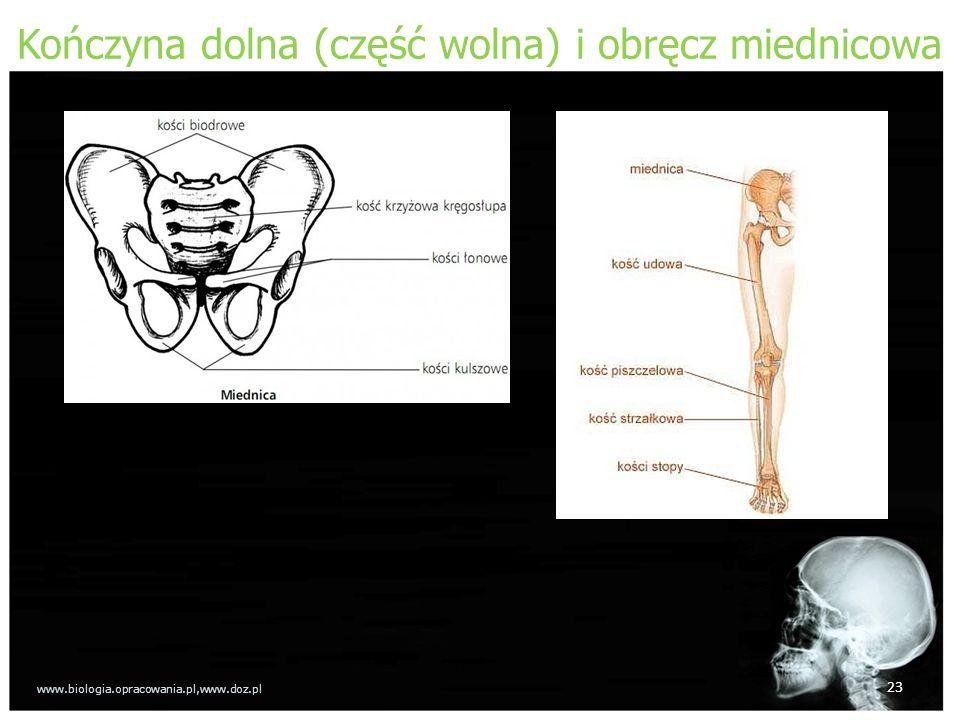 Kończyna dolna (część wolna) i obręcz miednicowa 23 www.biologia.opracowania.pl,www.doz.pl
