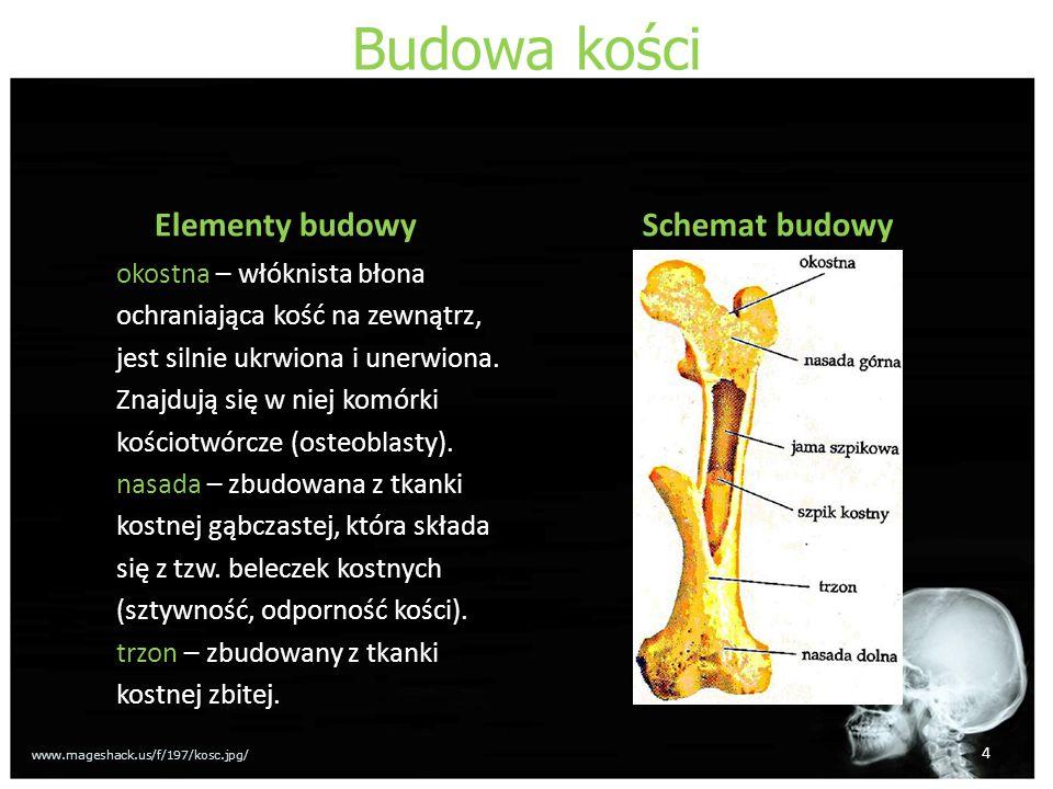 Budowa kości Elementy budowy okostna – włóknista błona ochraniająca kość na zewnątrz, jest silnie ukrwiona i unerwiona. Znajdują się w niej komórki ko