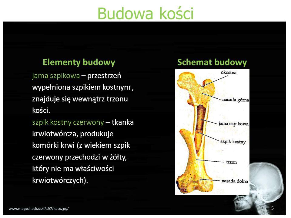 Budowa kości Elementy budowy jama szpikowa – przestrzeń wypełniona szpikiem kostnym, znajduje się wewnątrz trzonu kości. szpik kostny czerwony – tkank