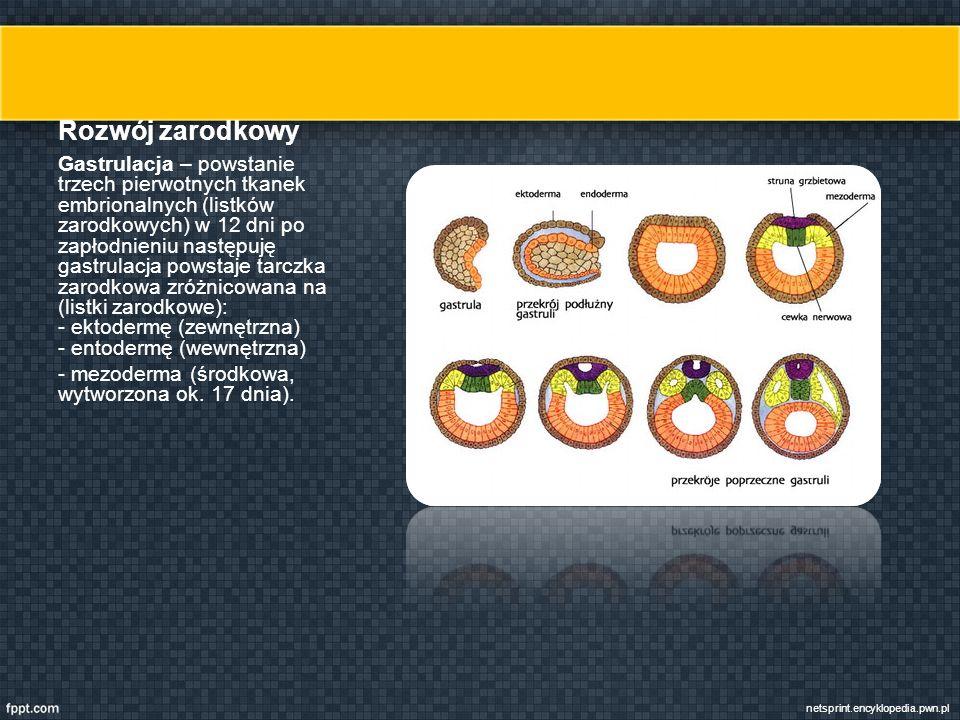 Rozwój zarodkowy Gastrulacja – powstanie trzech pierwotnych tkanek embrionalnych (listków zarodkowych) w 12 dni po zapłodnieniu następuję gastrulacja powstaje tarczka zarodkowa zróżnicowana na (listki zarodkowe): - ektodermę (zewnętrzna) - entodermę (wewnętrzna) - mezoderma (środkowa, wytworzona ok.