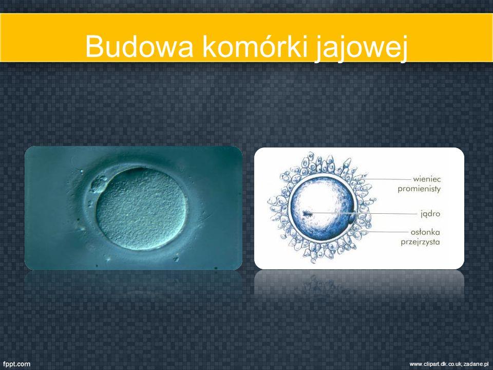 Budowa komórki jajowej www.clipart.dk.co.uk, zadane.pl