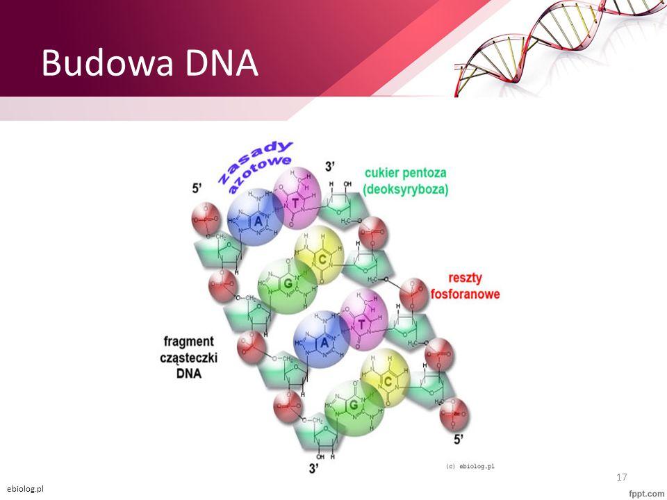 Budowa DNA 17 ebiolog.pl