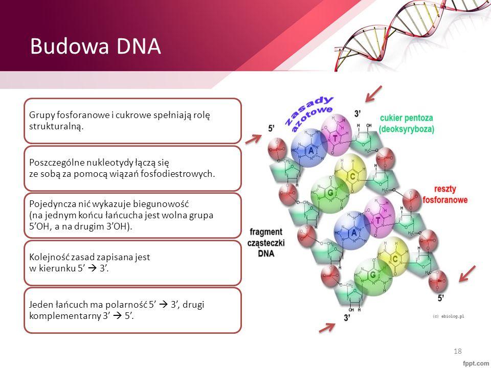 Budowa DNA Grupy fosforanowe i cukrowe spełniają rolę strukturalną. Poszczególne nukleotydy łączą się ze sobą za pomocą wiązań fosfodiestrowych. Pojed