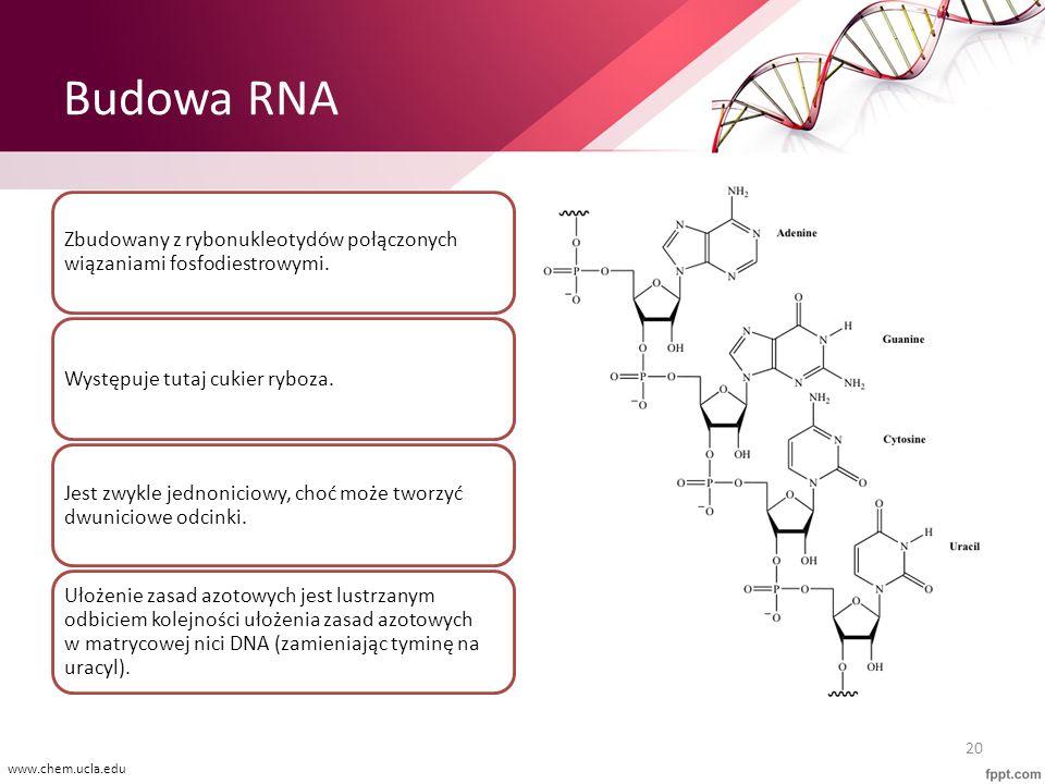 Budowa RNA Zbudowany z rybonukleotydów połączonych wiązaniami fosfodiestrowymi. Występuje tutaj cukier ryboza. Jest zwykle jednoniciowy, choć może two