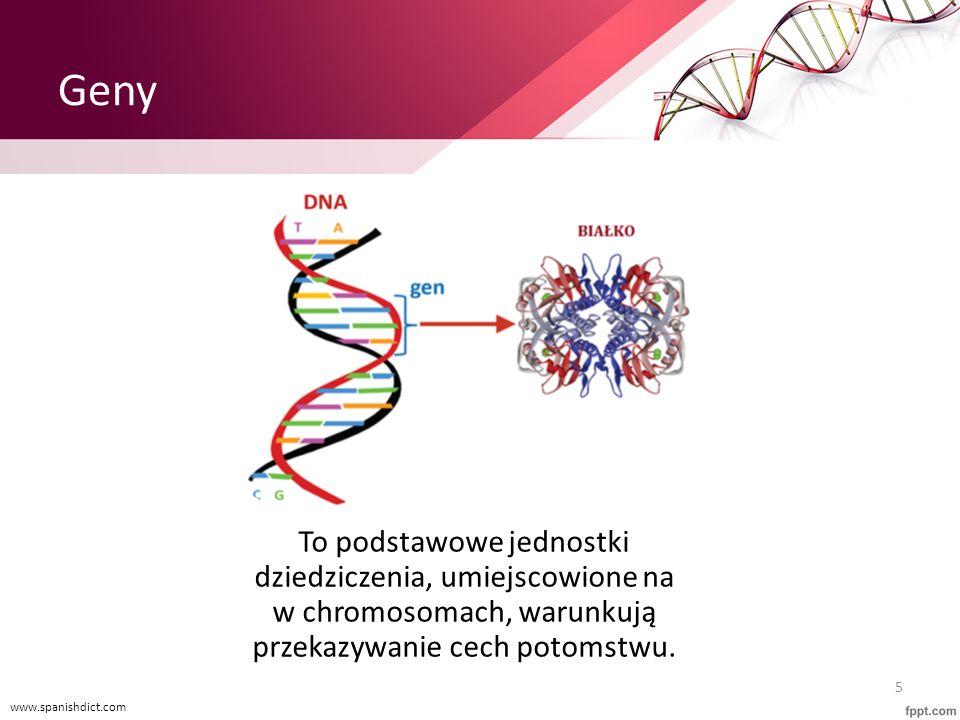 Geny To podstawowe jednostki dziedziczenia, umiejscowione na w chromosomach, warunkują przekazywanie cech potomstwu. www.spanishdict.com 5