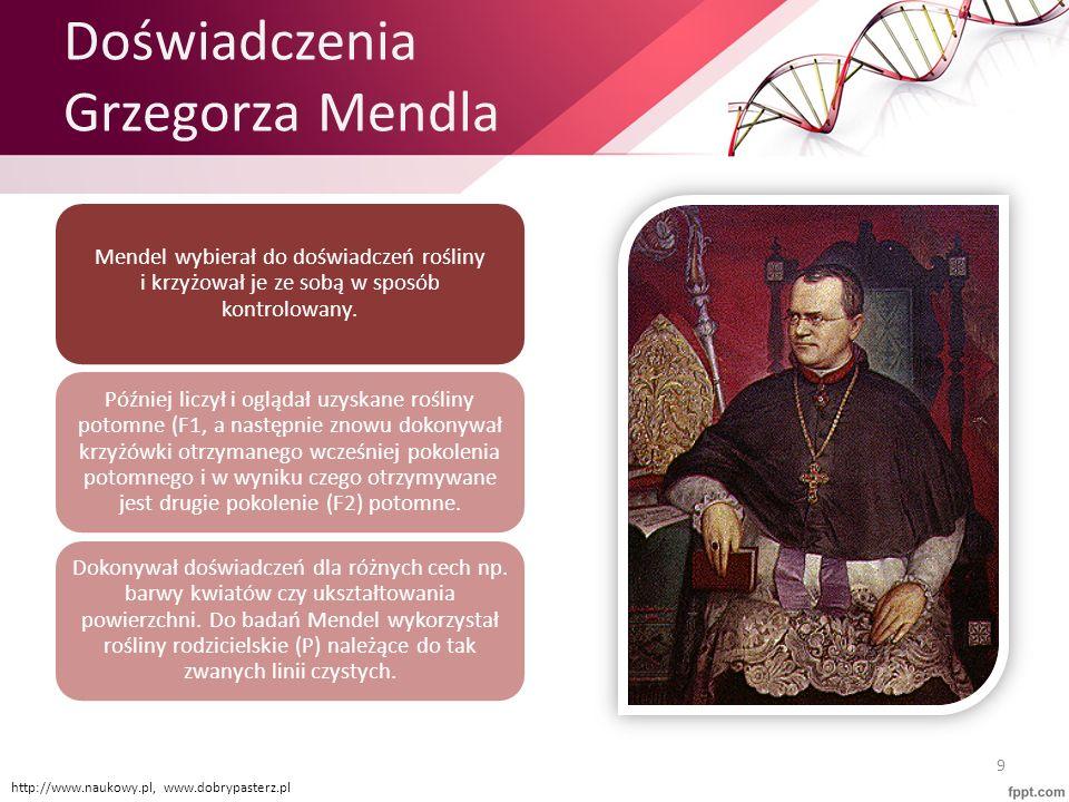 Doświadczenia Grzegorza Mendla Mendel wybierał do doświadczeń rośliny i krzyżował je ze sobą w sposób kontrolowany. Później liczył i oglądał uzyskane