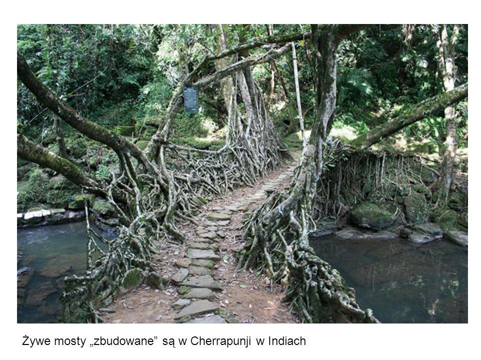 """Żywe mosty """"zbudowane są w Cherrapunji w Indiach"""
