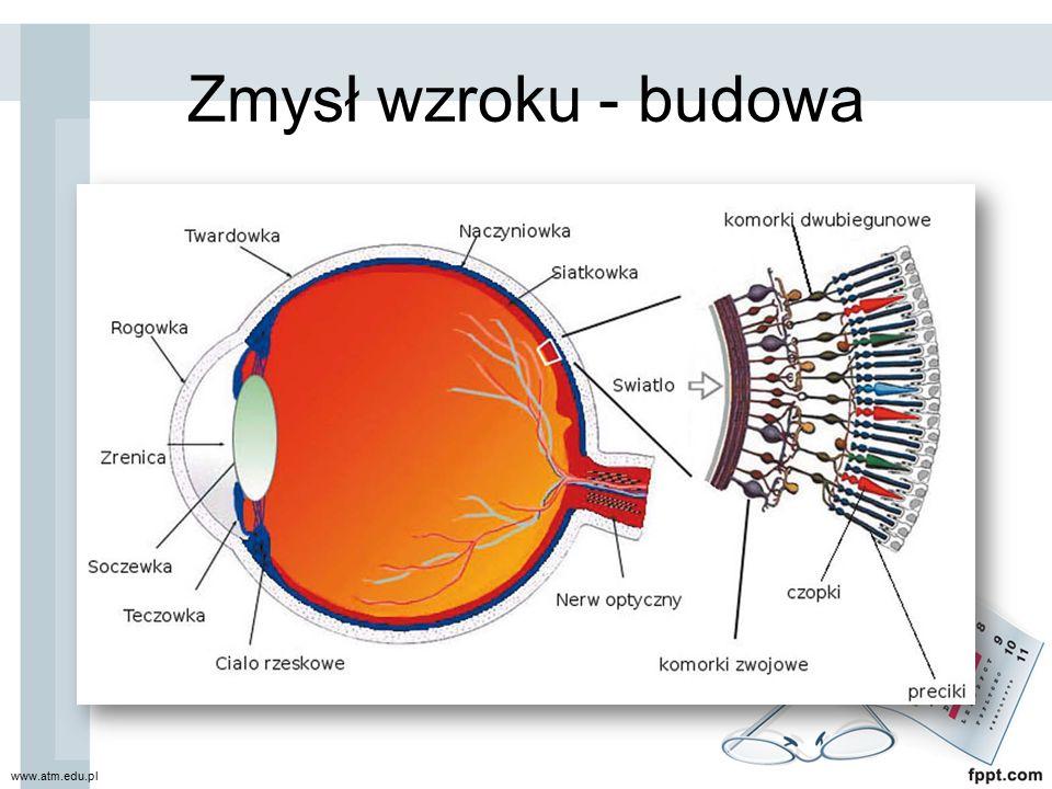 Błona włóknista (zewnętrzna) Twardówka: nieprzeźroczysta, otacza 80% gałki ocznej, chroni ja przed urazami, miejsce przyczepu mięśni poruszających gałką oczną.