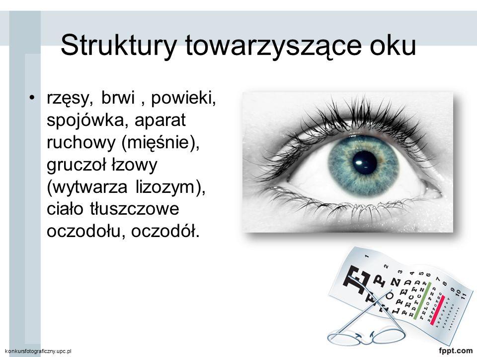 Struktury towarzyszące oku rzęsy, brwi, powieki, spojówka, aparat ruchowy (mięśnie), gruczoł łzowy (wytwarza lizozym), ciało tłuszczowe oczodołu, oczo