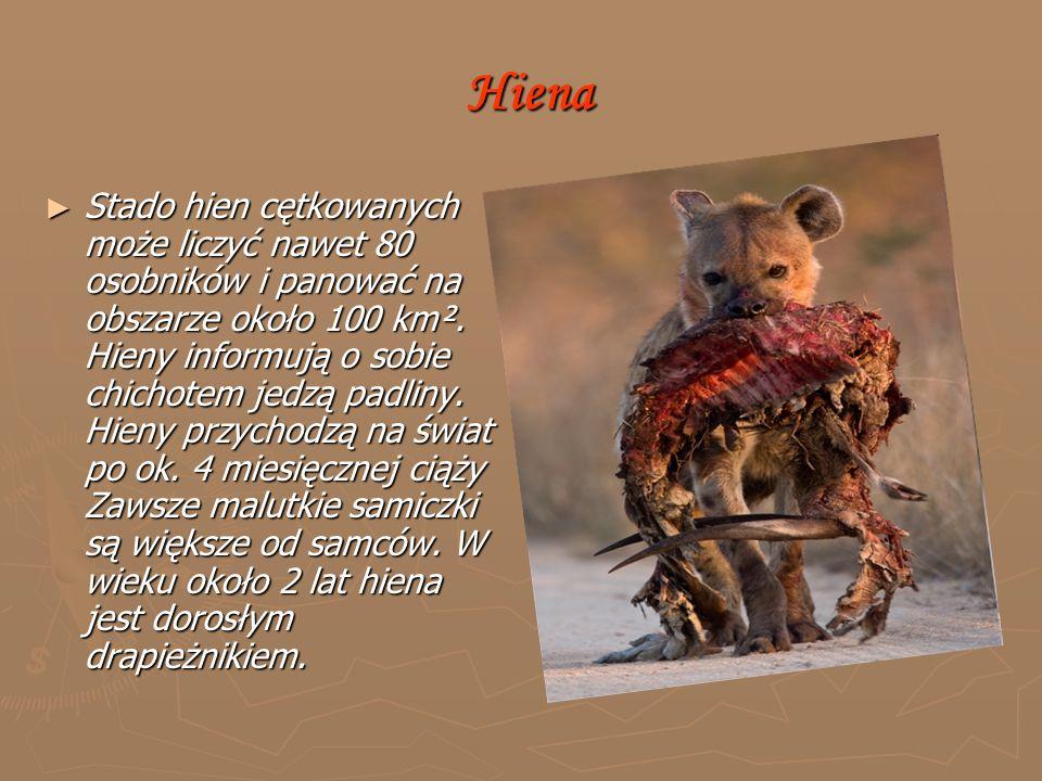 Hiena Hiena ► Stado hien cętkowanych może liczyć nawet 80 osobników i panować na obszarze około 100 km².