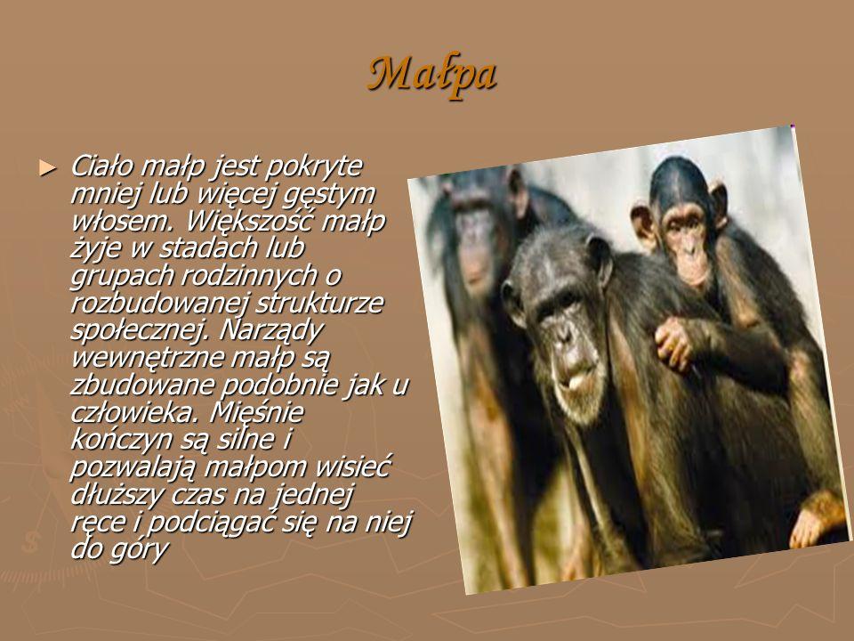 Małpa ► Ciało małp jest pokryte mniej lub więcej gęstym włosem.