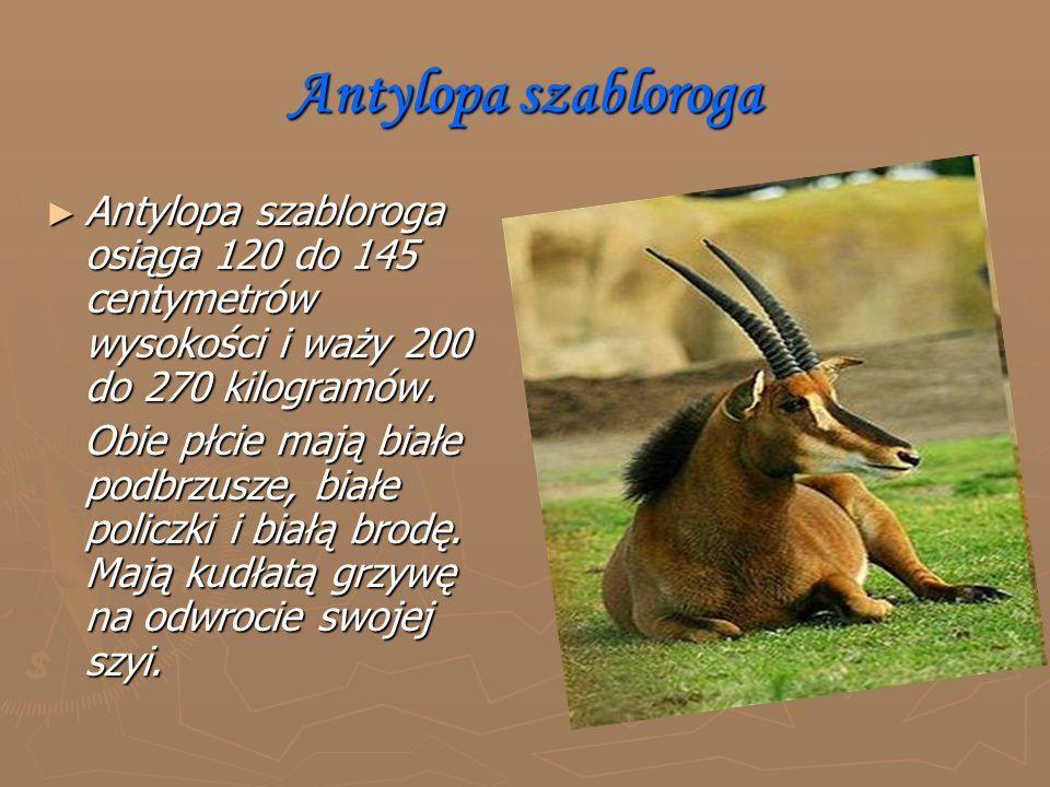 Antylopa szabloroga ► Antylopa szabloroga osiąga 120 do 145 centymetrów wysokości i waży 200 do 270 kilogramów.