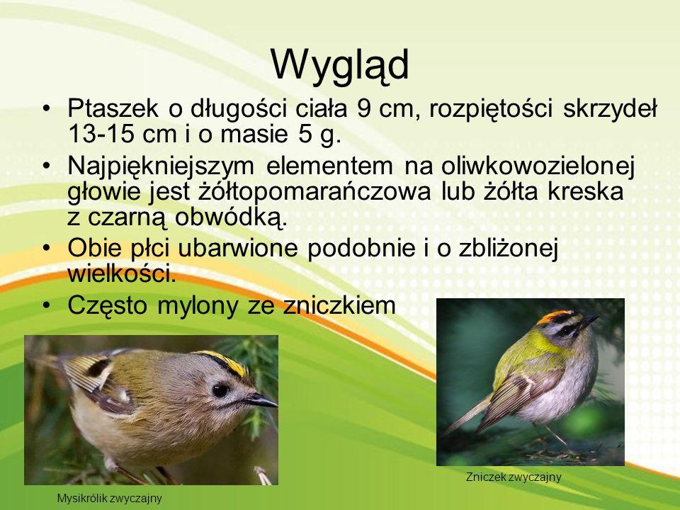 Ciekawostki Mysikrólik jest najmniejszym ptakiem współczesnej Europy Potrafi w 15-stopniowym mrozie przesiedzieć na gałązce nawet 16 godzin Naukowa nazwa regulus zaczerpnięta jest z łacińskiego słowa rex, czyli król.