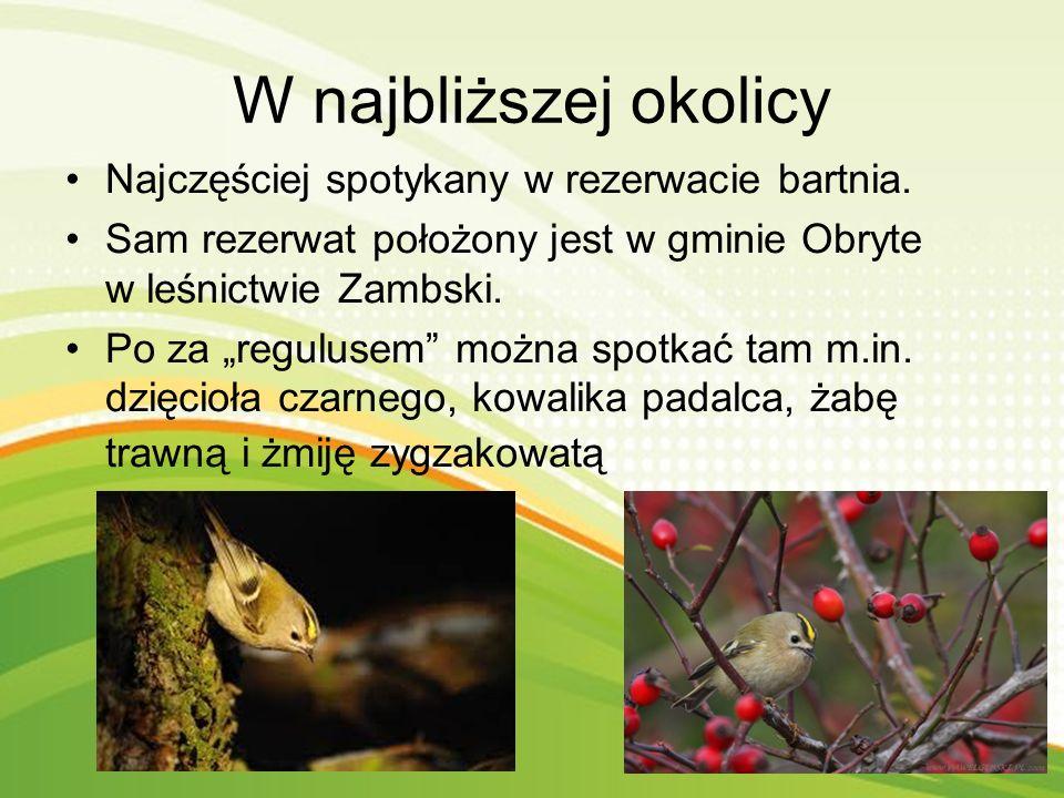 Wygląd Ptaszek o długości ciała 9 cm, rozpiętości skrzydeł 13-15 cm i o masie 5 g. Najpiękniejszym elementem na oliwkowozielonej głowie jest żółtopoma
