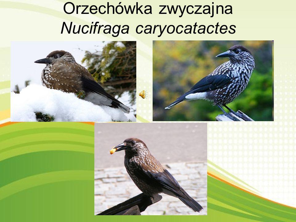 """W najbliższej okolicy Najczęściej spotykany w rezerwacie bartnia. Sam rezerwat położony jest w gminie Obryte w leśnictwie Zambski. Po za """"regulusem"""" m"""
