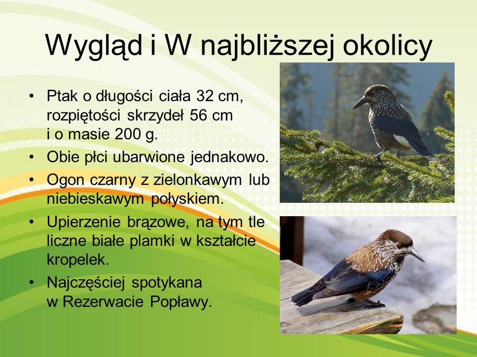 Ciekawostki Orzechówka zwyczajna zakopuje cześć znalezionych nasion w ziemi. Zapasy są ogromne - ptak zakopuje jesienią 50 kg w ponad 20 tys. miejsc n