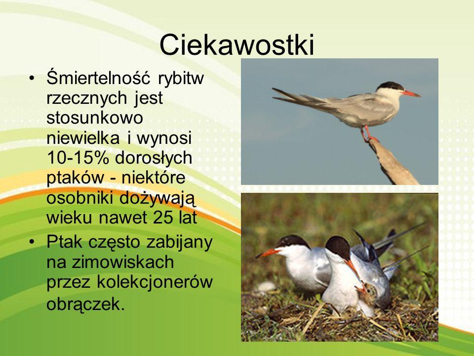 Rybitwa zwyczajna zwana jest również rybitwą rzeczną. Gatunek średniego ptaka z rodziny mew. Zimuje w Afryce. Zamieszkuje większość Eurazji i Ameryki