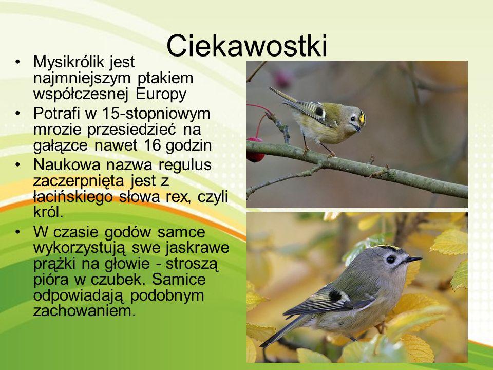 Gatunek małego ptaka z rodziny mysikrólików Występuje w większości Europy.