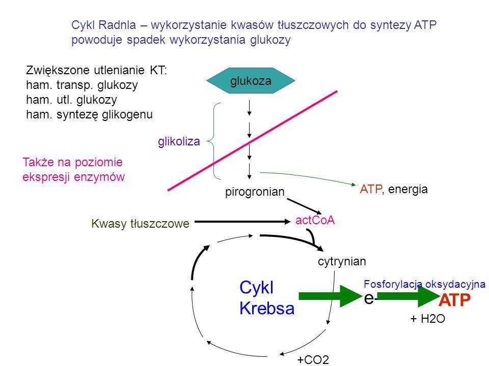 Cykl Radnla – wykorzystanie kwasów tłuszczowych do syntezy ATP powoduje spadek wykorzystania glukozy glukoza pirogronian glikoliza ATP, energia cytryn