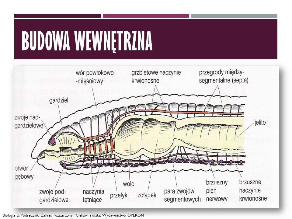 SKĄPOSZCZETY (OLIGOCHAETA) ciało wydłużone, lekko spłaszczone, na ciele szczecinki (funkcje m.in.