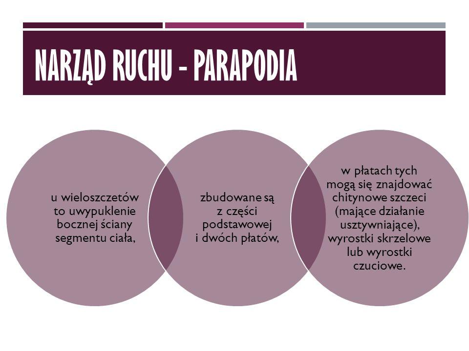 NARZĄD RUCHU - PARAPODIA u wieloszczetów to uwypuklenie bocznej ściany segmentu ciała, zbudowane są z części podstawowej i dwóch płatów, w płatach tyc