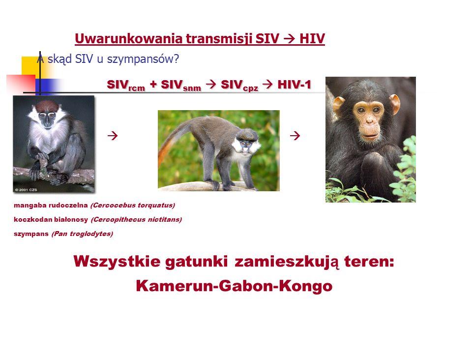 Uwarunkowania transmisji SIV  HIV A skąd SIV u szympansów? SIV rcm + SIV snm  SIV cpz  HIV-1   mangaba rudoczelna (Cercocebus torquatus) koczkoda