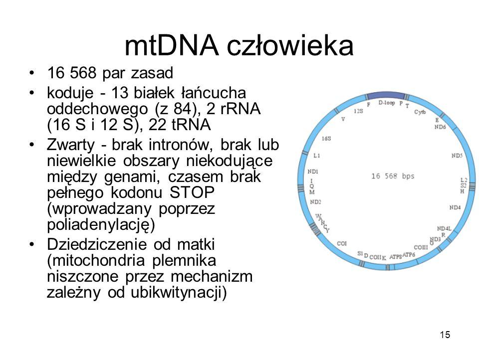 mtDNA człowieka 16 568 par zasad koduje - 13 białek łańcucha oddechowego (z 84), 2 rRNA (16 S i 12 S), 22 tRNA Zwarty - brak intronów, brak lub niewie