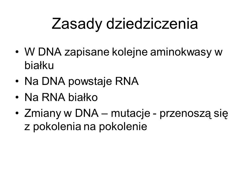 Zasady dziedziczenia W DNA zapisane kolejne aminokwasy w białku Na DNA powstaje RNA Na RNA białko Zmiany w DNA – mutacje - przenoszą się z pokolenia n