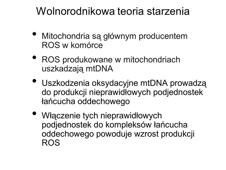 Wolnorodnikowa teoria starzenia Mitochondria są głównym producentem ROS w komórce ROS produkowane w mitochondriach uszkadzają mtDNA Uszkodzenia oksyda
