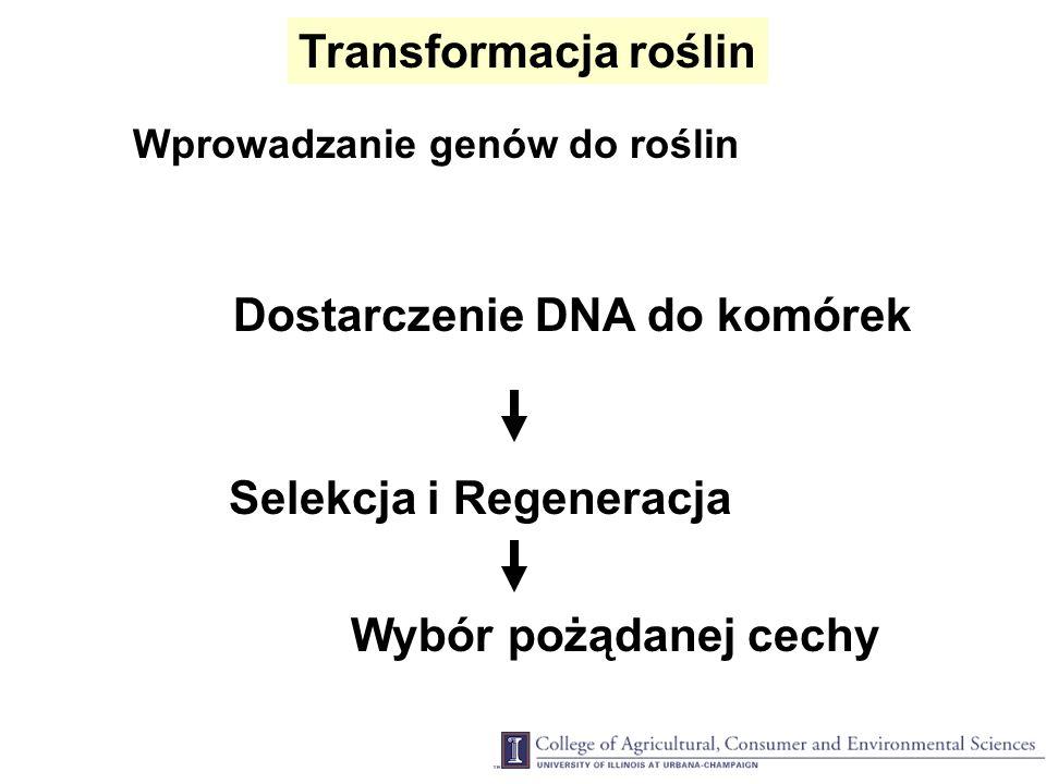 Transformacja roślin Wprowadzanie genów do roślin Dostarczenie DNA do komórek Selekcja i Regeneracja Wybór pożądanej cechy