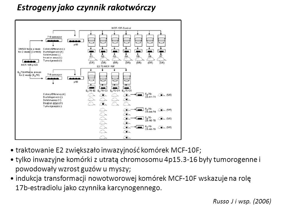 Estrogeny jako czynnik rakotwórczy Russo J i wsp. (2006) traktowanie E2 zwiększało inwazyjność komórek MCF-10F; tylko inwazyjne komórki z utratą chrom