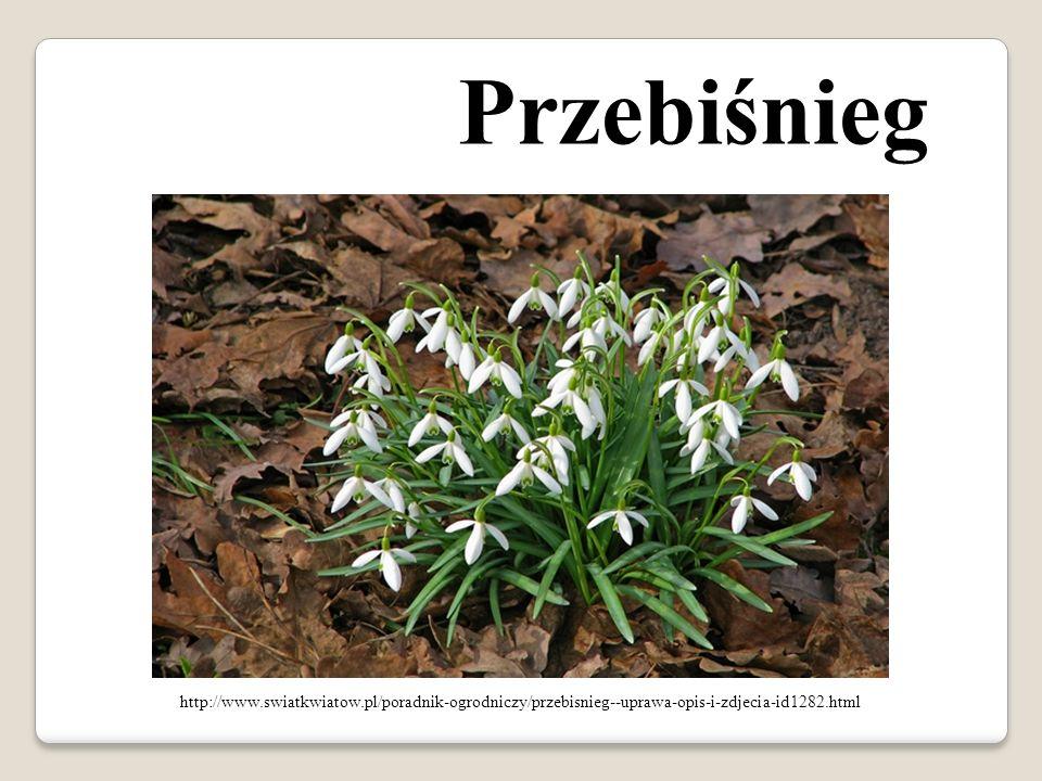 Przebiśnieg http://www.swiatkwiatow.pl/poradnik-ogrodniczy/przebisnieg--uprawa-opis-i-zdjecia-id1282.html