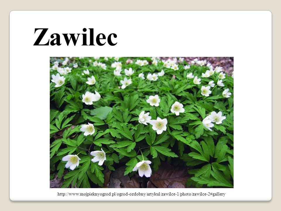 Zawilec http://www.mojpieknyogrod.pl/ogrod-ozdobny/artykul/zawilce-1/photo/zawilce-2#gallery