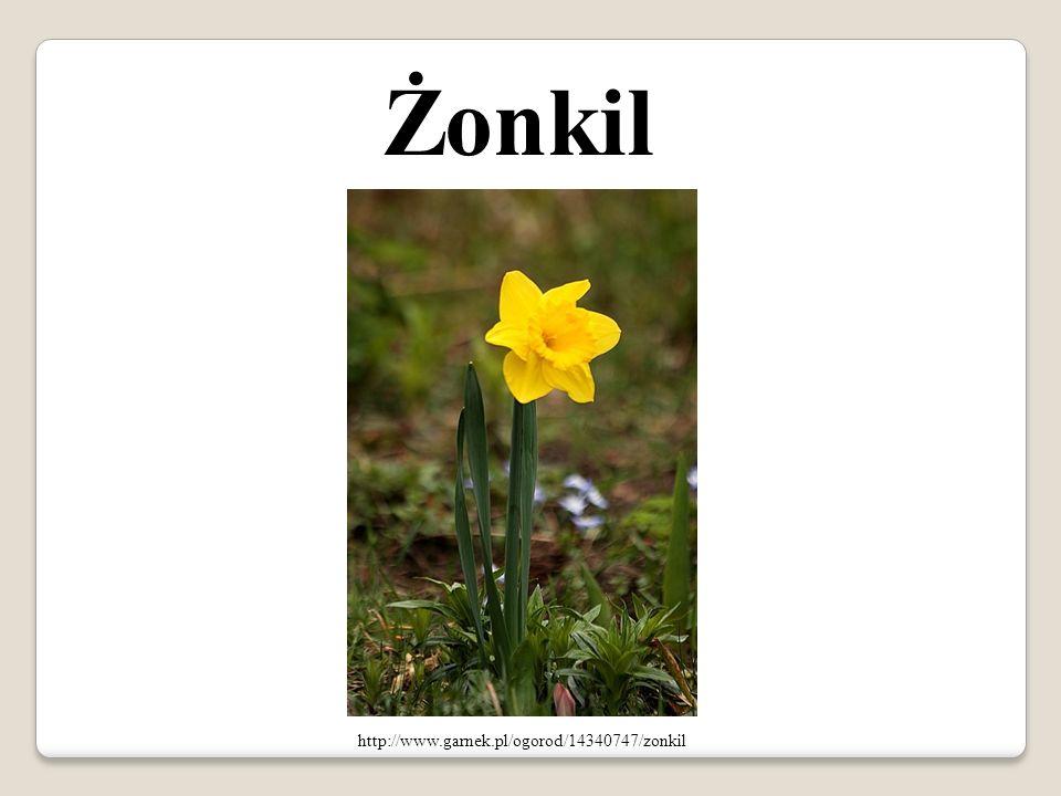 Żonkil http://www.garnek.pl/ogorod/14340747/zonkil
